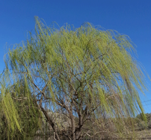 The Wind in the Willow (ha!)