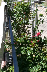my perfumed roses