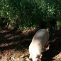 Pig-erator