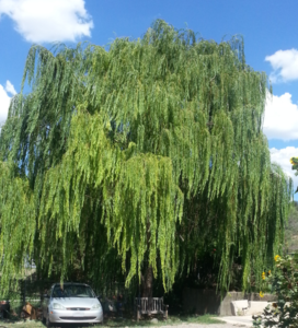 theWillowTree