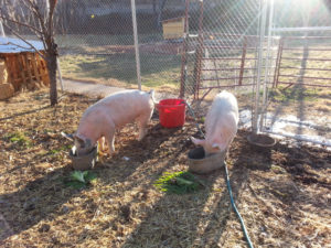 pigs in the orchard