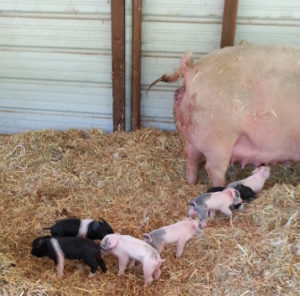 eight piglets with their mother
