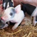 Piggie Post