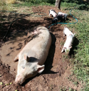 mom and piglets mudbathing
