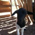 Surprise lambs