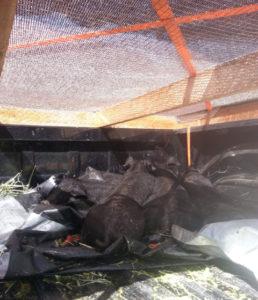5 black piglets in my truck
