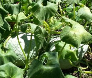 hubbard squash in the garden