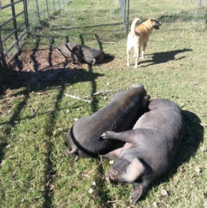 pigs laying on their sides in the pasture with Moosie the dog