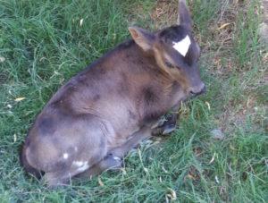 newborn calf