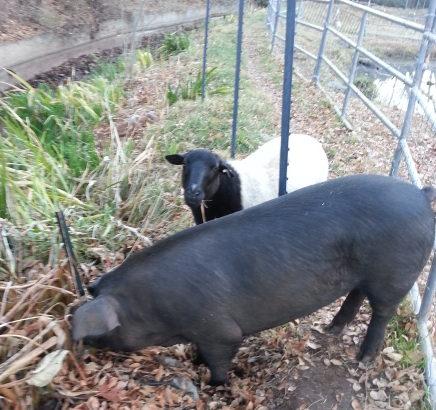 a ewe and a 350 pound gilt