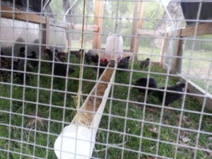 chicks in a mobile chicken coop
