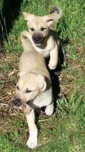 two female anatolian shepherd puppies