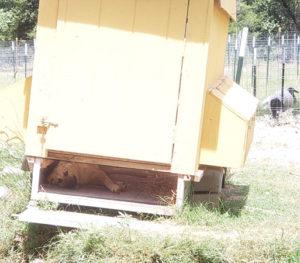 puppy in a chicken coop