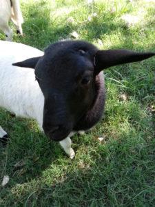 one month old Dorper ram lamb