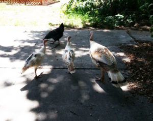 barred rock chicken and three hybrid turkeys
