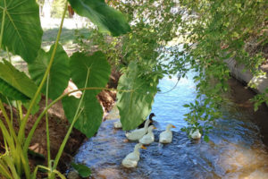 ducks swimming in the irrigation ditch