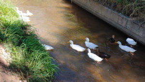 ducklings and ducks in the irrigation ditch