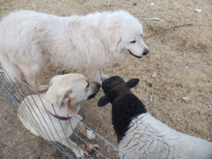 two dogs and a ram lamb