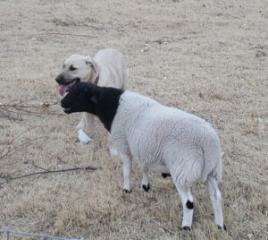 a ram lamb and a puppy