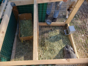 rabbit in a mobile coop with a birthing box