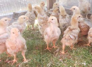 2 week old chicks