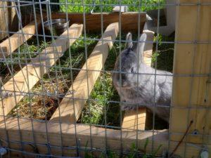 3 week old American Chinchilla rabbit