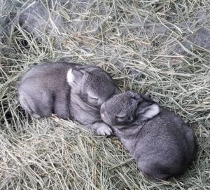 two week old bunny babies