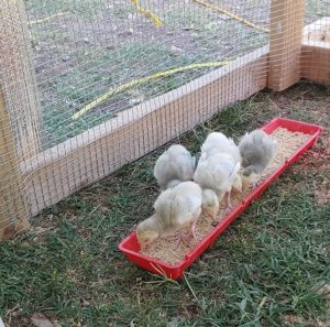 blue slate turkey poults eating
