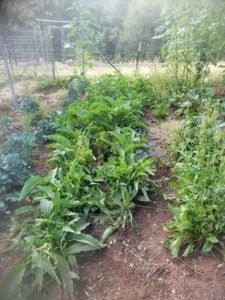 a row of comfrey plants