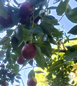 jujube fruit on the tree