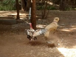 a turkey attacking a dog